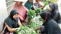 Kelompok Wanita Tani(KWT), Nagari Tanjung Kecamatan Sungayang, Kabupaten Tanah Datar Sumbar saat memanen tanaman sayur-mayurnya (M Rafi / Mattanews.co)