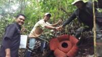 Rafflesia Arnoldi yang tumbuh mekar di objek wisata Nagari Tanjung, Sumbar.
