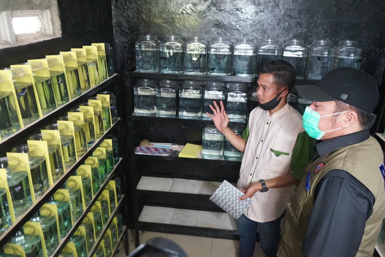 Herman Deru melihat usaha ikan cupang di Palembang.