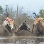 Pacu jawi menjadi salah satu tradisi yang digelar di Sumbar, terutama menjadi wisata di Tanah Datar (Dok. Humas Dispar Tanah Datar / Mattanews.co)