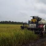 Petani di Desa Sri Karang Rejo melakukan panen di area persawahan.